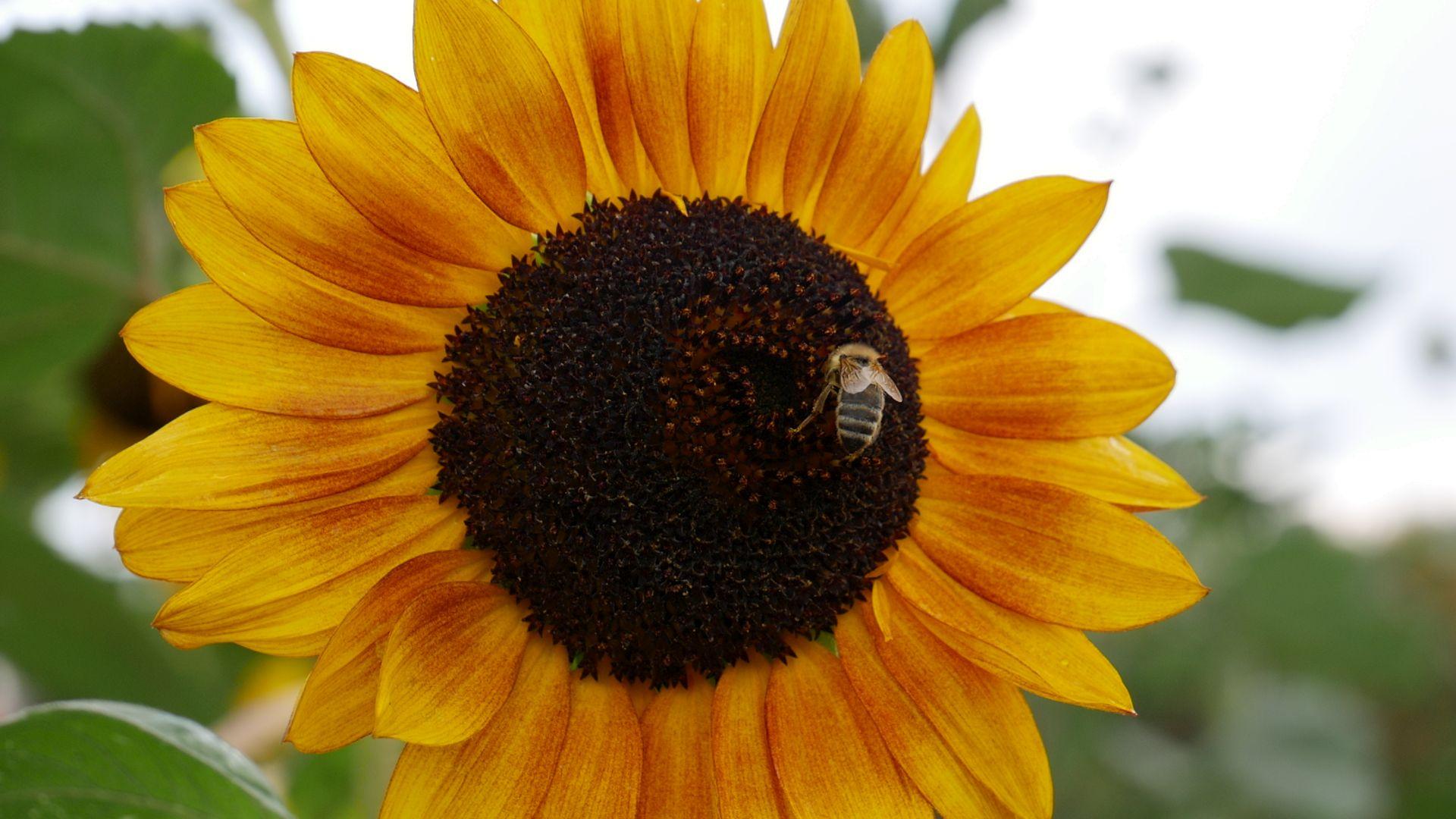Eine Sonnenblume im N-ERGIE Netzgebiet
